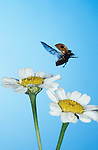 2 Spot Ladybird, Adalia bipunctata, adult in flight, flying, daisy flower, blue background.United Kingdom....