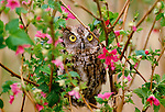 Western screech-owl perched in salmonberry bush, Washington