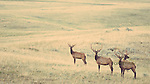 four bull elk in velvet on green prairie eastern montana near malta