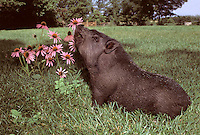 Potbelly pig, Sus scrofa domestica, smells the flowers, Echinacea purpurea