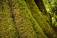 Layers of moss grow on a spruce tree along the Rain Forest Nature Trail in the Quinault Rain Forest. The termperate rain forest areas on the Olympic Peninsula get upwards of 200 inches of rain per year, making it very lush, moss-covered, and green.