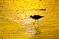 A sandpiper scavenges along the Santa Monica shoreline amid the sunset on Thursday, April 11, 2013.