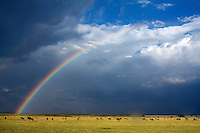 Rainbow during a rainstorm, Maasai Mara National Reserve, Kenya.