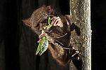 Tarsiers