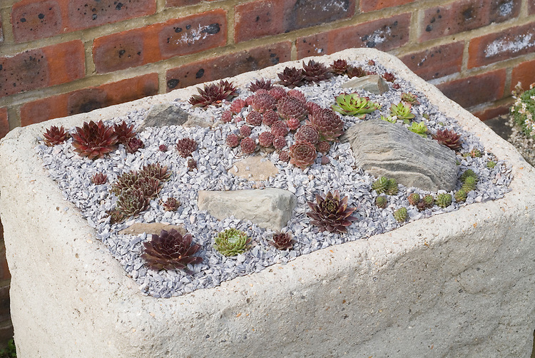 Succulents in miniature trough container garden
