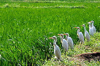 I loved this seven bird line up. Found it very amusing to see such patience and focus in these birds&quot;<br /> Stand and Wait is a passive feeding strategy used for making surprise attacks on an aquatic animals. These Egrets bordering a flooded rice field have to work hard as the crop matures.