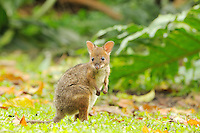 Red-legged Pademelon (Thylogale stigmatica) joey, Queensland, Australia.