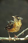 American Robin