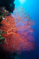 Fantastic but fragile fan coral on wall, Palau Micronesia. (Photo by Matt Considine - Images of Asia Collection)