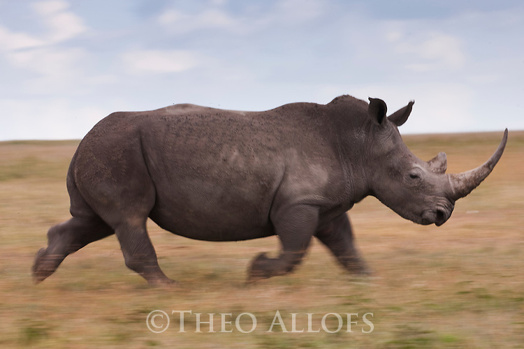 Kenya, Solio Reserve, white rhinoceros running in savannah, motion blur, side view