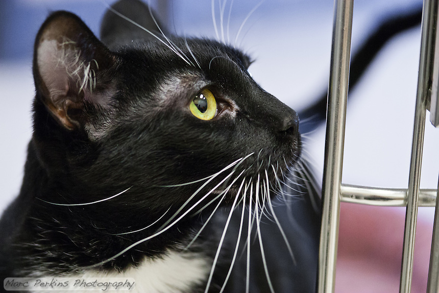 Molly, a two year old bicolor tuxedo white and black short-haired cat, looks at her cage door.  Molly is a very playful and fun loving cat who loves to ride on people's shoulders and interact with dogs; she would not be good with small children.  Molly is up for adoption at Miss Kitty's Rescue in Costa Mesa, CA.  This picture was taken pro bono for Miss Kitty's Rescue to help them advertise the cats for adoption.