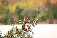 A red squirrel eagerly forages among the outermost branches of a cedar tree. Lake Agnes, BWCAW, October 2013.