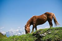 Young horse grazes on summer alpine grass along trail in Austiran Alps, Near Maria Alm, Austria