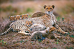 Cheetahs often rest on termite mounds from which they are able to survey their surroundings, as here in Phinda Reserve, South Africa. This is a necessity for a mother with many cubs to keep out of harm's way.