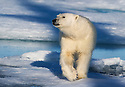 Polar bear (Ursus maritimus) in Svalbard
