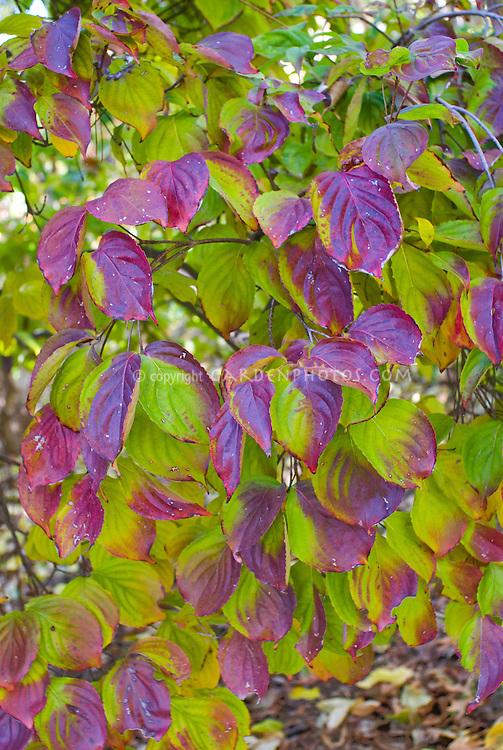 Cornus kousa 'Lustgarten Weeping' in autumn color Korean Dogwood tree