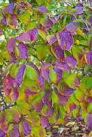Cornus kousa 'Lustgarten Weeping' in autumn color Korean Dogwood tree
