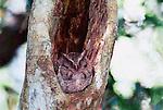 Guatamalan screech-owl, Calakmul Biosphere Reserve, Campeche, Mexico