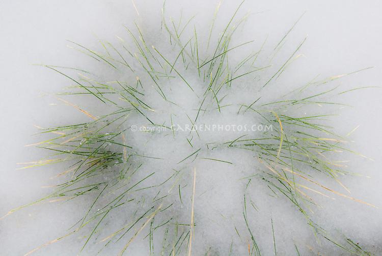 ornamental grass in winter snow Festuca
