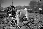 A male Pug puppy standing in pile of maple leafs that have fallen off in tree in Madison, Wisconsin.