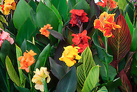 Cannas grown from tender bulbs flowering in summer, showing mixture of bloom colors, types of variegated leaves foliage