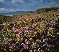 Asters, Mattole Beach, Cape Mendocino, King Range National Conservation Area, The Lost Coast, Humboldt County, California