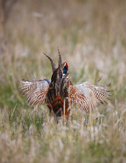 a rooster pheasant cackling during spring mating season in montana
