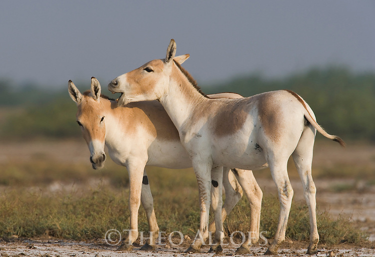 Indian wild asses showing affectionate behavior (Equus hemionus khur), dry season