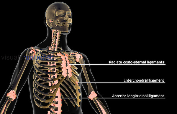 An anterolateral view (right side) of the ligaments of the upper body. The surface anatomy of the body is semi-transparent. Royalty Free
