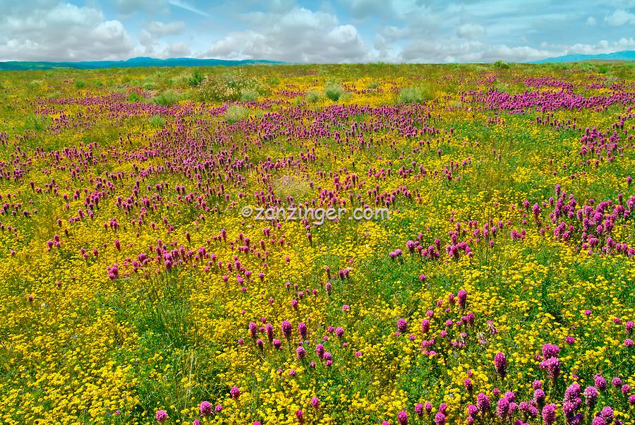 spring wildflowers in antelope - photo #24