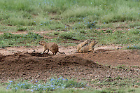 673010024 wild black-tailed prairie dogs cynomis ludovicianus in a small prairie dog town on empire ceienega natural conservation area pima county arizona