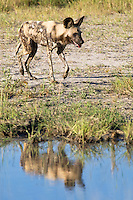 An African wild cape hunting dog next to the water, with reflection