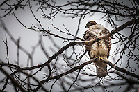 From its perch in the bare branches, a Red-tailed hawk watches its territory, on the alert for prey or encroachers.