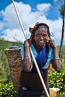 Tea pickers dress very neatly and with richly colored saris and jewelry.  The stick is used to ensure the tops of the tea plants are picked to the same level. (Photo by Matt Considine - Images of Asia Collection)