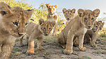 Lion cubs and mom stare at the camera that has approached them via a small robot, Masai Mara National Reserve, Kenya