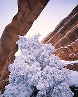 Icy Pinyon &   Wall Arch, Arches National Park, Utah Pinus edulis     Arch since fallen in 2007