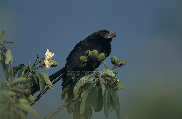 Groove Billed Ani Crotophaga Sulcirostris Rolf Nussbaumer Photography