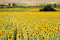 sun flower fields in the turkish countryside