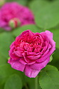"""Rosa 'De Resht' (syn. Rosa 'Rescht' and Rosa 'Rose de Rescht'), a damask Portland rose, late May. It was introduced from Iran by Nancy Lindsay (1896-1973), the somewhat bohemian daughter of the garden designer Norah Lindsay who in the 1930s twice travelled to Persia, as it then was, in search of plants. She wrote of it in her catalogue: """"'Rose de Resht' N.L. 849. Happened on it in an Old Persian garden in ancient Resht, tribute of the tea caravans plodding Persia-wards from China over the Central Asian Steppes, it is a sturdy yard-high bush of glazed lizard-green, perpetually emblazoned with full camellia flowers of pigeons-blood ruby irised with royal-purple, haloed with dragon-sepals like the painted blooms on oriental faience. 7/6"""" (John Grimshaw's Garden  Diary blog)"""
