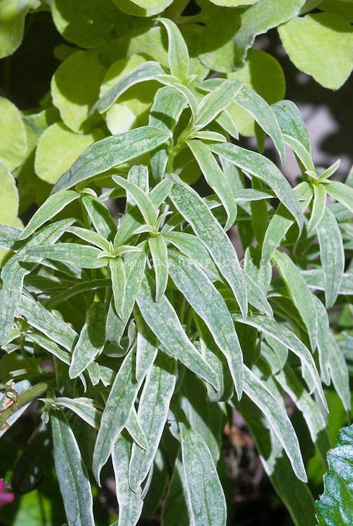 Antirrhinum Eternal variegated leaves, annual snapdragon leaves