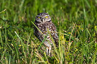 Florida burrowing owl,seen here in Everglades National Park is a small owl that lives underground. It is listed as a species of concern.