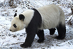 Giant Panda, Ailuropoda melanoleuca, walking in snowy landscape, Wolong Research and Conservation Centre, Sichuan (Szechwan) Province Central China, can handle bamboo with great dexterity with extended sesamoid bone in wrist which acts like false thumb, reserve, breeding centre, captive, captivity, asia, asian, black, white, chinese, fur, furry, bears, pandas, patterns, omnivores, snow.China....