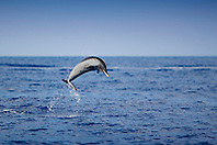 Pantropical Spotted Dolphin, Stenella attenuata, leaping, off Kona Coast, Big Island, Hawaii, Pacific Ocean