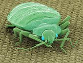 Bedbug on a carpet (Cimex lectularius)