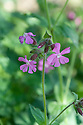 Red campion (Silene dioica), East Sussex, late May.