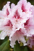 Rhododendron Prince Camille de Rohan in spring flower
