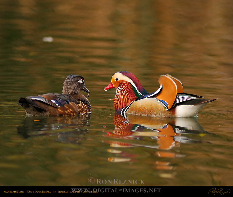 Mandarin Male, Wood Duck Female, Franklin Canyon, Southern California