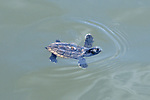 Loggerhead Hatchling In Water