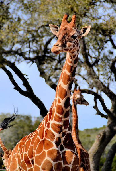 Dec 06,  · Natural Bridge Wildlife Ranch is an African Safari, Texas-Style! NBWR is home to more than animals, which represent over 40 species. Every continent except Antarctica is represented in the animal inventory. We have been providing memorable, educational and 4/4().