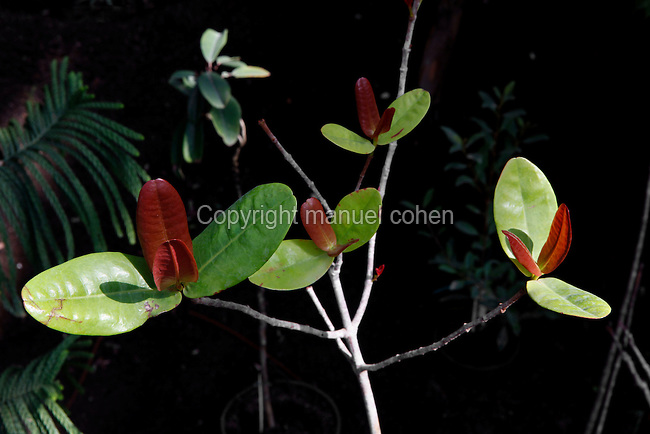 New Caledonia Glasshouse (formerly The Mexican Hothouse), 1830s, Charles Rohault de Fleury, Jardin des Plantes, Museum National d'Histoire Naturelle, Paris, France. Detail of Austrobuxus carunculatus plant, its leaves highlighted against a dark background..